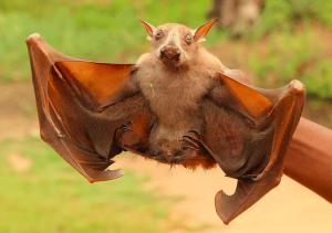 Hammerhead Bat