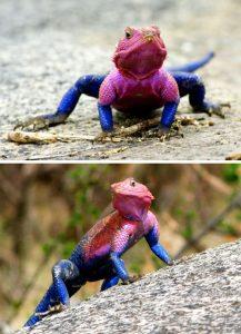 Agama mwanzae — Spider-Man lizard.