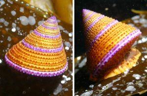 Calliostoma annulatum snail