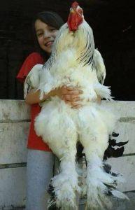 Giant Brahma Chicken
