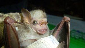 Visored bat